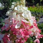 georgina garden centre features pinky winky hydrangea shrubs