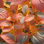 hydrangea quick fire leaves